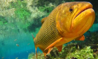 Com a proibição da captura do Dourado, pescador pode pagar no mínimo R$ 2,7 mil em multa