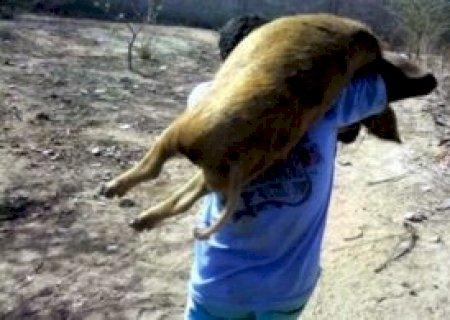 Porcas são furtadas em granja de engorda em Vicentina