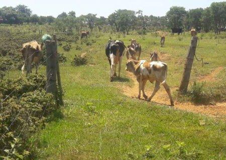 Moradores de assentamento são multados em R$ 25 mil por criar gado em área de preservação em MS