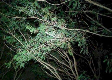 Criança que morreu ao cair de árvore tinha 11 anos e foi buscar papagaio em Dourados