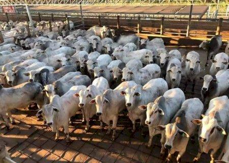 Abate de bovinos cai 13,9% enquanto frangos e suínos batem recordes em MS