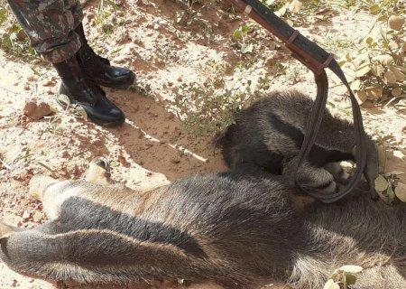 Filhote de tamanduá é encontrado agarrado ao corpo da mãe morta atropelada