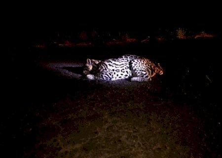 Atropelada na MS-478, jaguatirica é atendida por veterinários mas não resiste