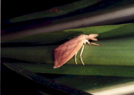 Estudo: fungo da podridão vermelha manipula broca-da-cana para se disseminar