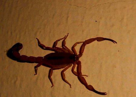Com aparições \'fora de época\', Campo Grande tem 438 acidentes envolvendo escorpiões