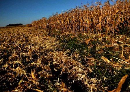 Com colheita ainda tímida, MS já vendeu 56% da safra de milho