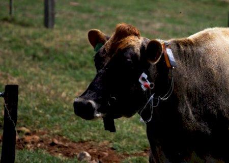 Tecnologia vai medir quanto de capim vaca come por dia