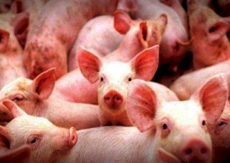 ALERTA EM MS: MAPA emite alerta e Iagro amplia vigilância para prevenir peste suína africana
