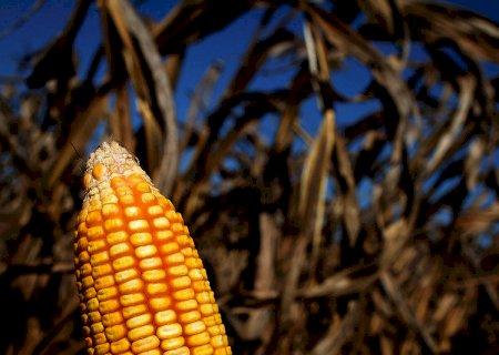 Lançada nova cultivar de milho híbrida para uso em alimentos e rações
