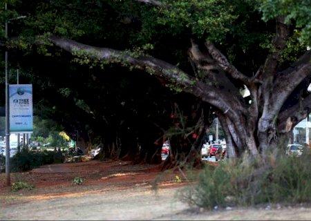 Centenárias, figueiras da Afonso Pena foram plantadas em 1921 para incentivar arborização