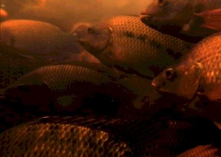 Conheça a criação de tilápias no Brasil, um dos mercados em expansão no agro