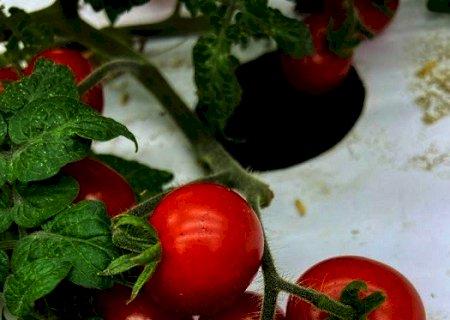 Pesquisa avalia tomateiros mais adaptados ao cultivo em fazenda vertical