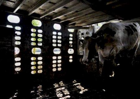 Leite: Cresce o descarte de vacas para abate, e agora?