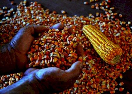 Leilões de milho para abastecer pequenos criadores devem iniciar em setembro